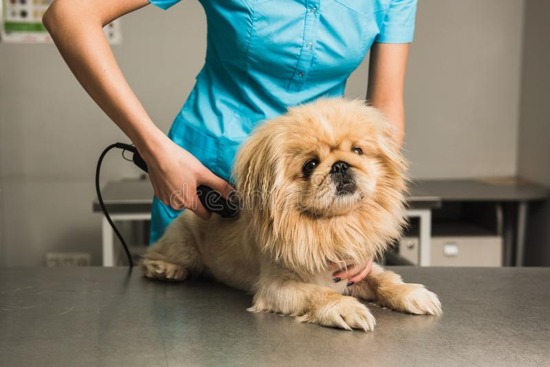 Shih-tzu getting haircut from female groomer. royalty free stock photography