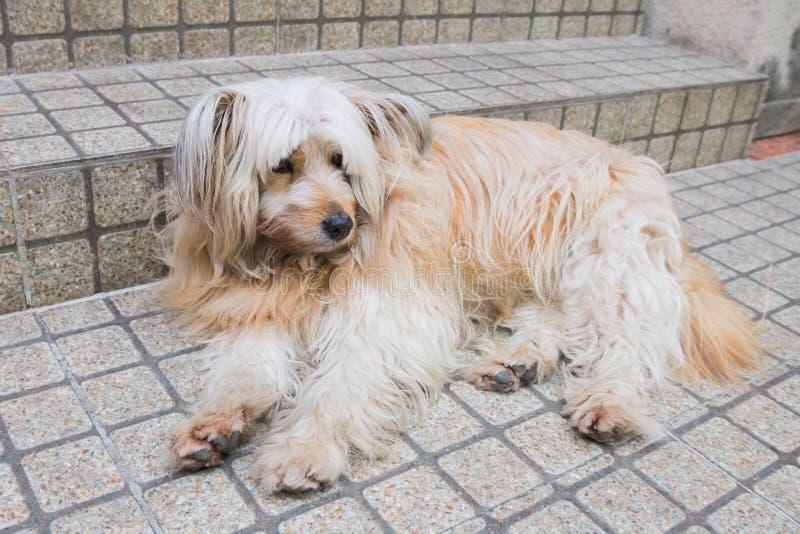 Shih Tzu-hond in tuin stock afbeeldingen