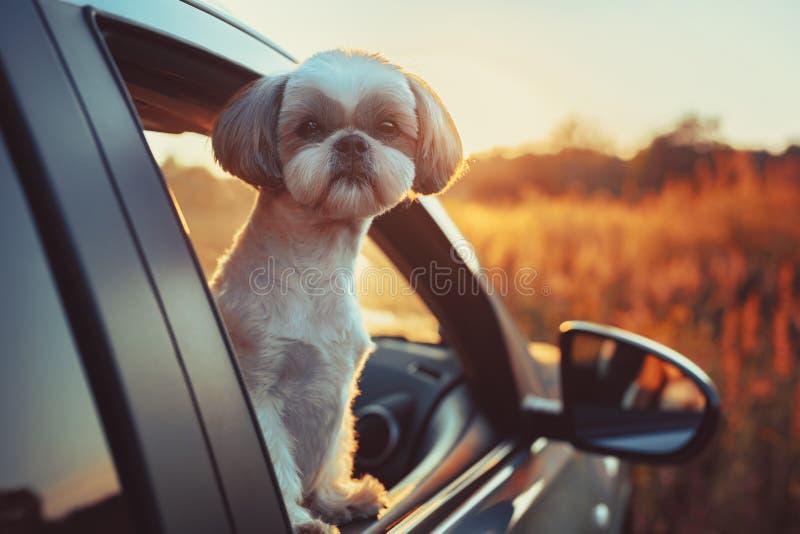 Shih Tzu Hund lizenzfreie stockfotos