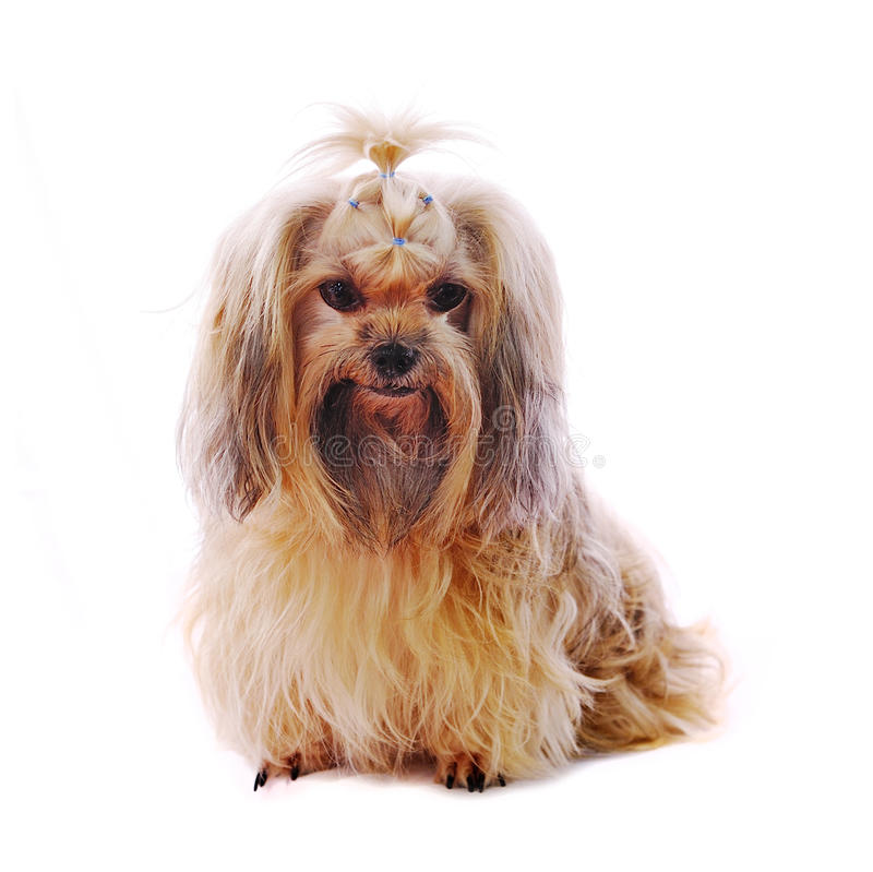 Shih Tzu hund i studio arkivfoton