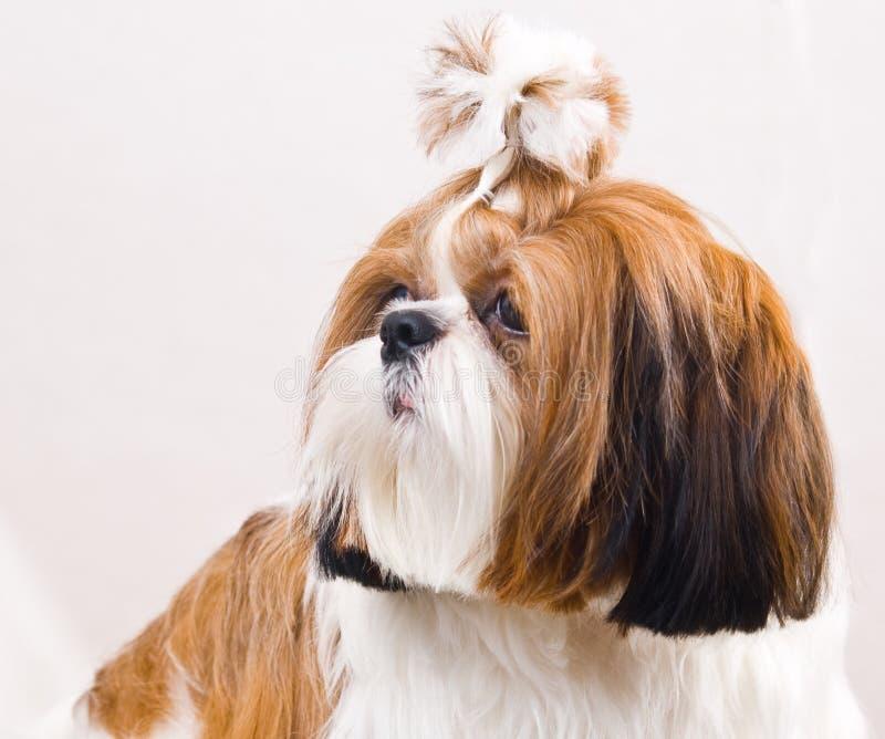 Shih Tzu hund i studio på en vit royaltyfria bilder