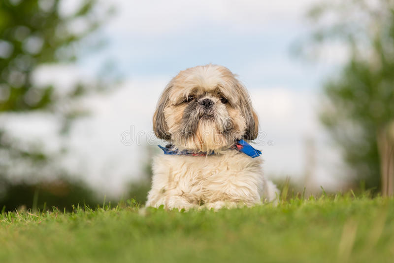 Shih Tzu-Hund im Garten stockfotos