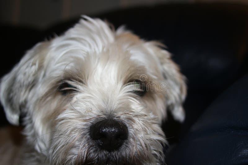 Shih-tzu Hund ist traurige Niederlegung des Blickes sehr lizenzfreie stockfotografie