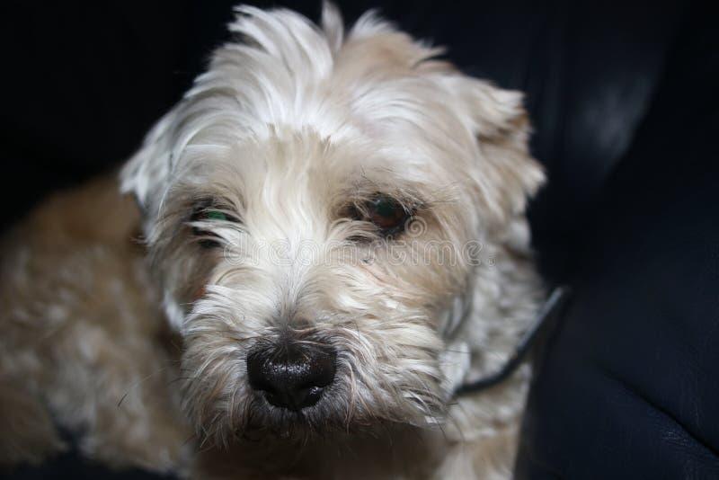 Shih-tzu Hund ist traurige Niederlegung des Blickes sehr stockbild