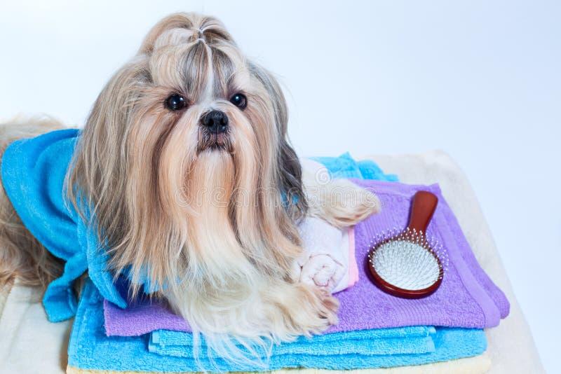 Shih-tzu Hund nachdem dem Waschen lizenzfreies stockfoto