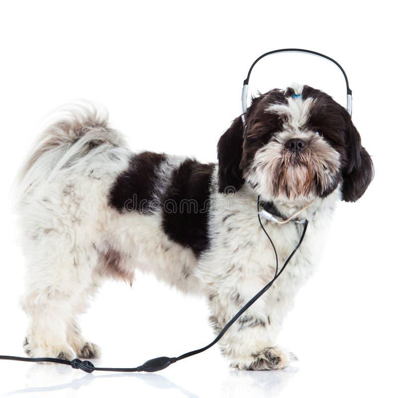 Shih tzu isolated on white background dog and headphone royalty free stock image