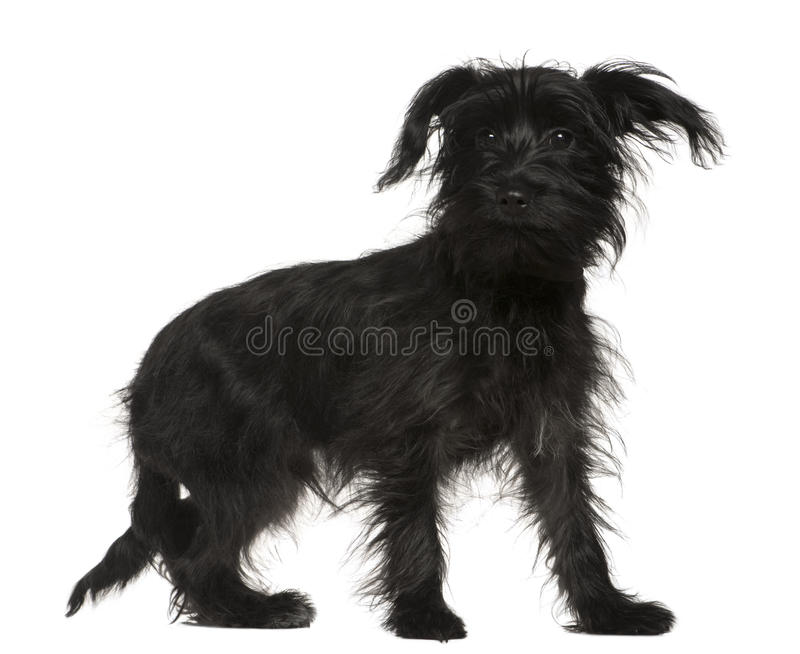 Shih-Tzu mixed with a Yorkshire Terrier royalty free stock photos
