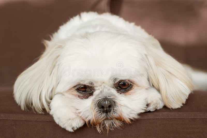Shih Tzu på soffan fotografering för bildbyråer