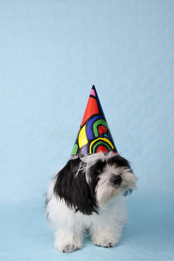 Shih Tzu Party. A black and white shih tzu pup with a party hat on blue background stock photos
