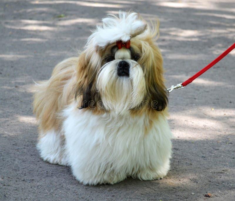Shih Tzu pies zdjęcie stock