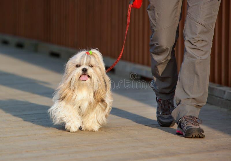 Shih-tzu pies obrazy royalty free