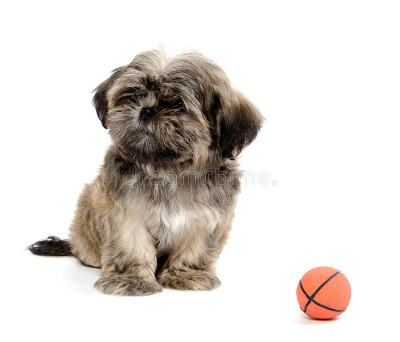 Download Shih Tzu playing with ball stock photo. Image of puppy - 26470024