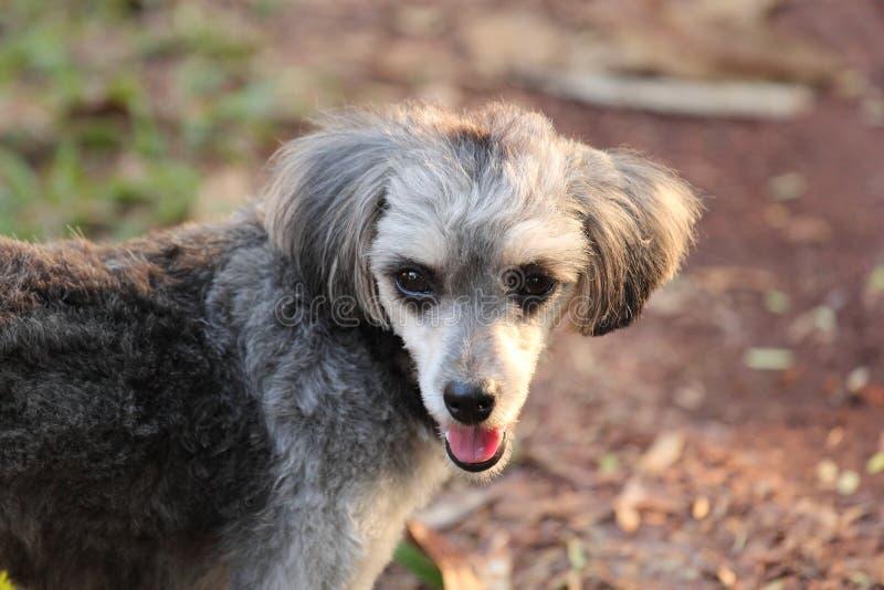 Shih Tzu Poodle fotografia stock