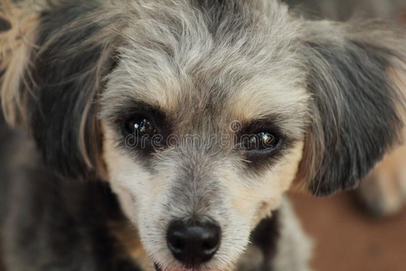 Shih Tzu Poodle fotografia stock libera da diritti