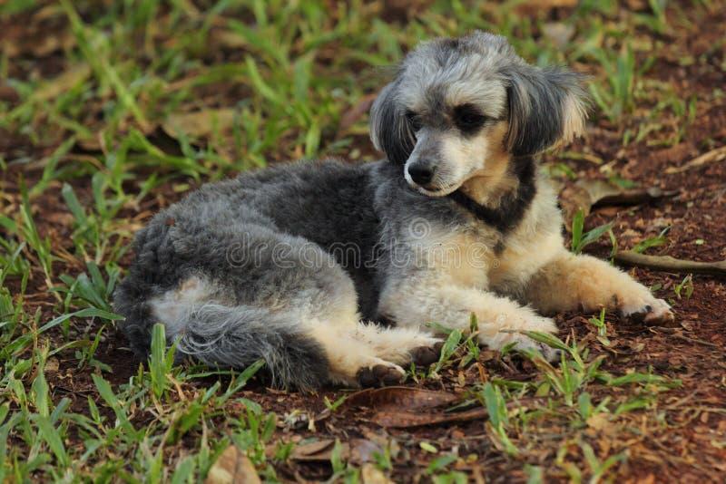 Shih Tzu Poodle fotografie stock