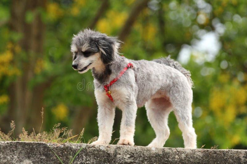 Shih Tzu Poodle immagine stock libera da diritti