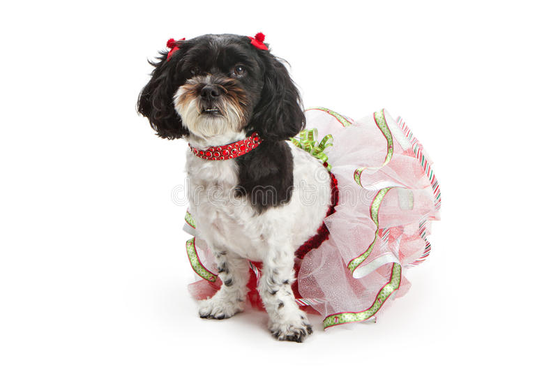 Shih Tzu - Poodle Dog in Christmas Outfit. A beautiful Shih Tzu and Poodle cross breed dog wearing a Christmas outfit and sitting against a white backdrop royalty free stock images