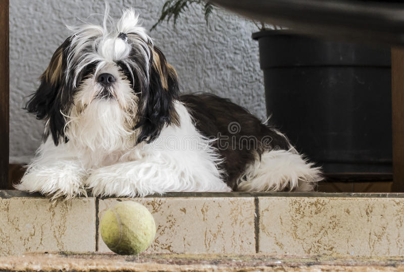 Shih-tzu psa czekanie dla rzeczy zdarzać się obraz royalty free
