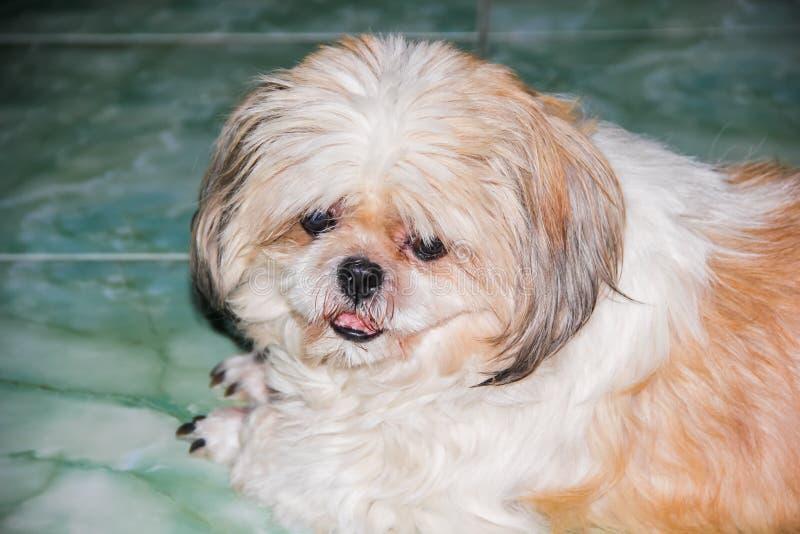 Shih tzu psa lying on the beach na podłoga zdjęcie royalty free