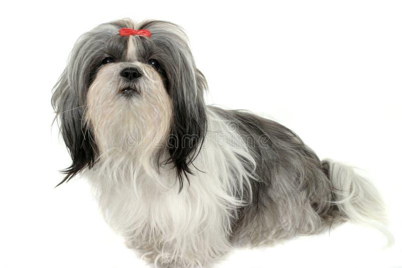 Shih Tzu Puppy 1 stock photo