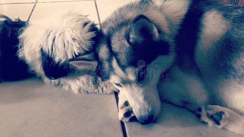 Shih tzu puppy and gray husky cuddling stock photo