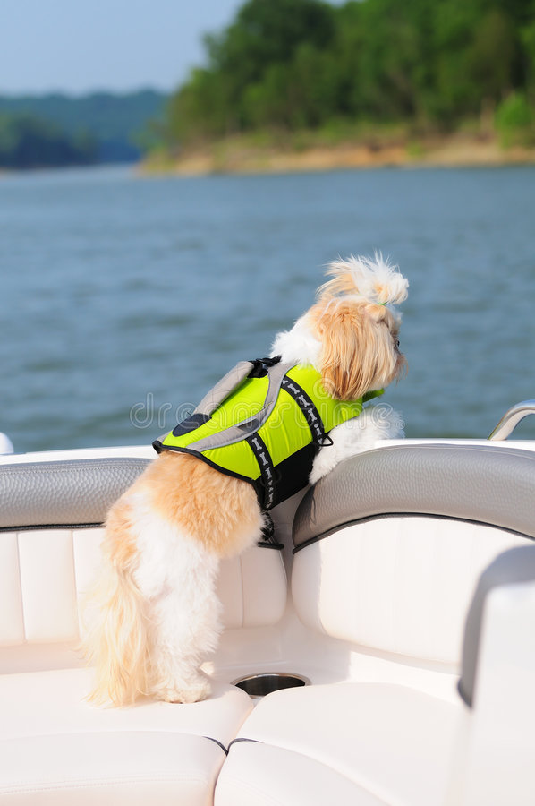 Shih Tzu Puppy In A Life Vest. While riding in a boat on a small lake stock photo