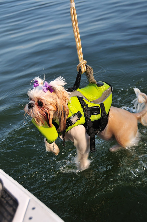 Shih Tzu Puppy Rescue. Shih Tzu Puppy, wearing a life jacket, is attached to a rope and pulled out of the water at a lake royalty free stock images