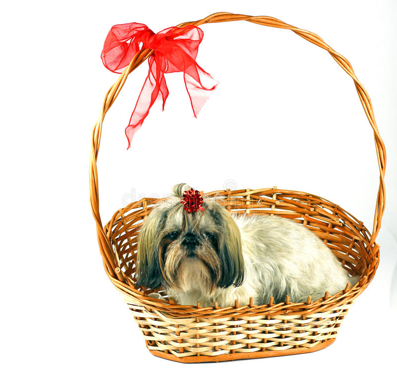 Shih tzu puppy sitting in the basket royalty free stock image