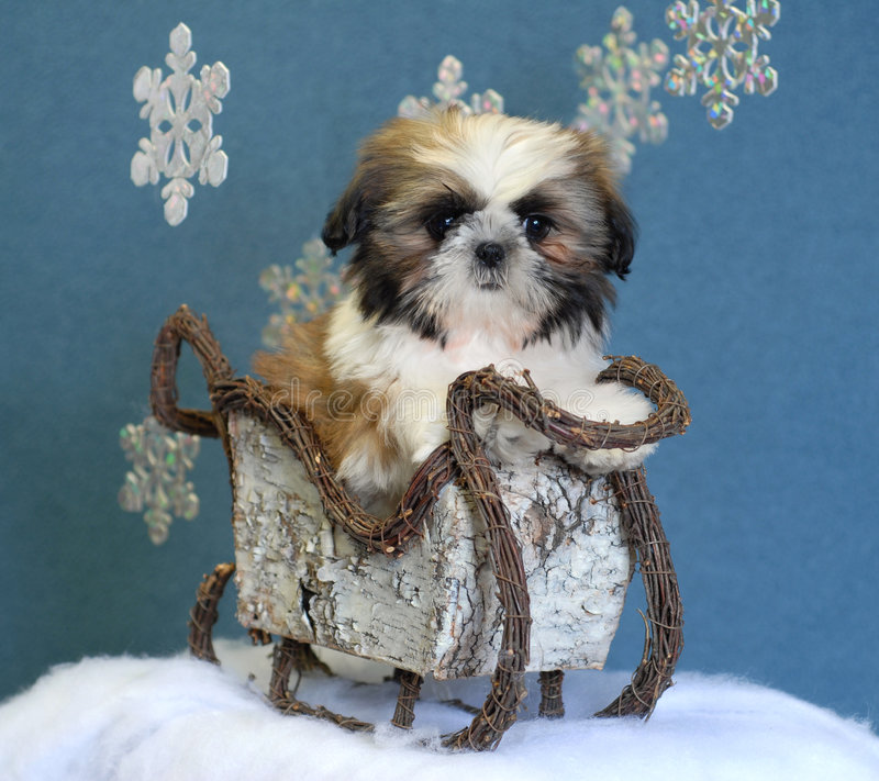 Download Shih tzu puppy in sleigh stock image. Image of sled, christmas - 6761735