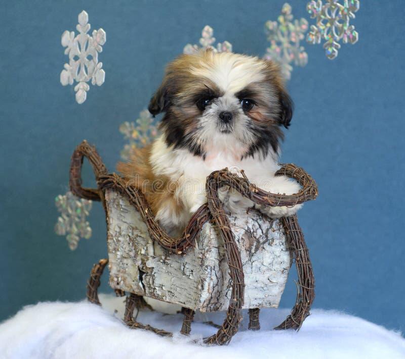 Shih tzu puppy in sleigh royalty free stock photo