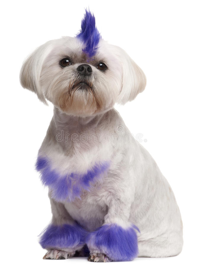 Shih Tzu with purple mohawk, 2 years old stock image
