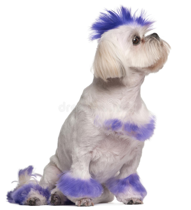 Shih Tzu with purple mohawk, 2 years old royalty free stock photography