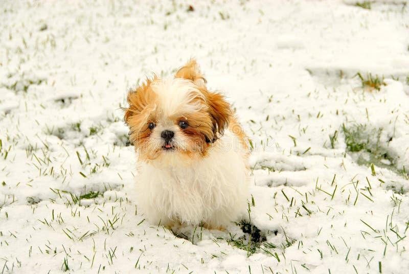 Shih Tzu que joga na neve imagens de stock