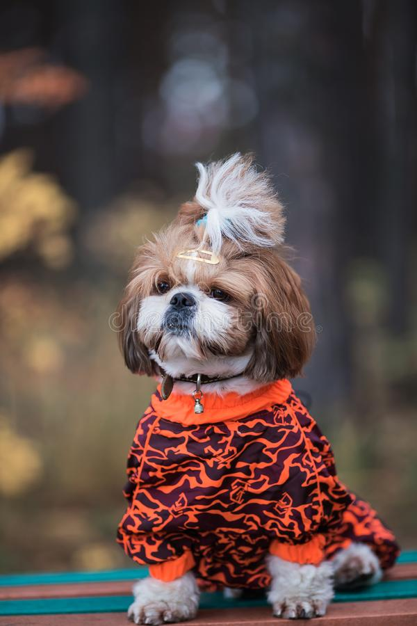 Shih tzu is sitting on a bench. Dog walking in the park in autumn. Dog in overalls walking in the park stock photo