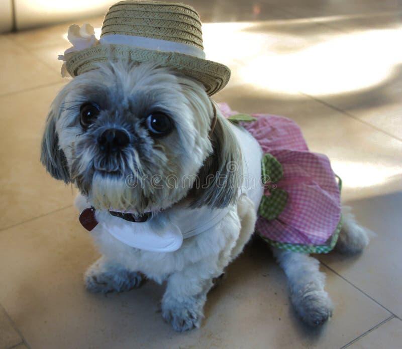 Shih Tzu som är klar att festa i klänning och hatt royaltyfri foto