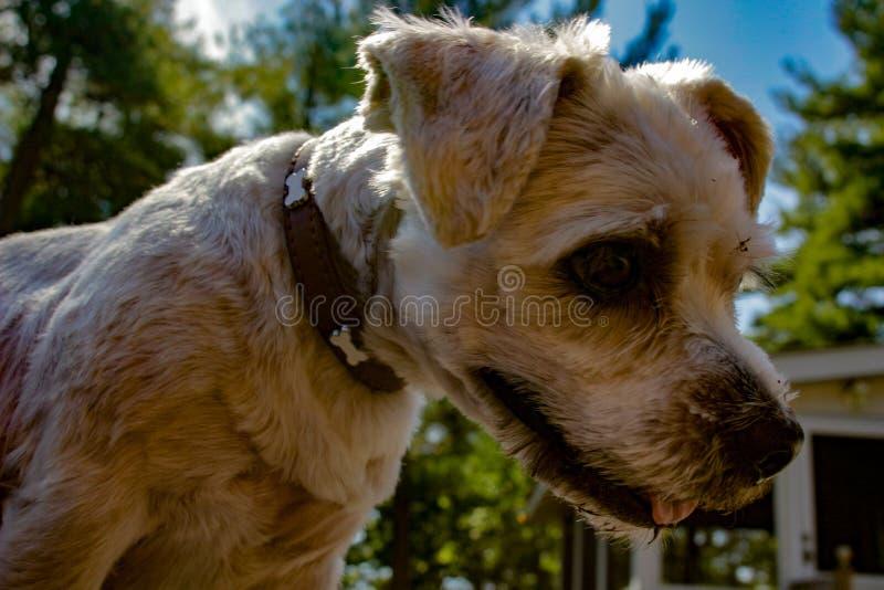 Shih Tzu trasandato ha mescolato il cane della razza all'aperto immagini stock libere da diritti