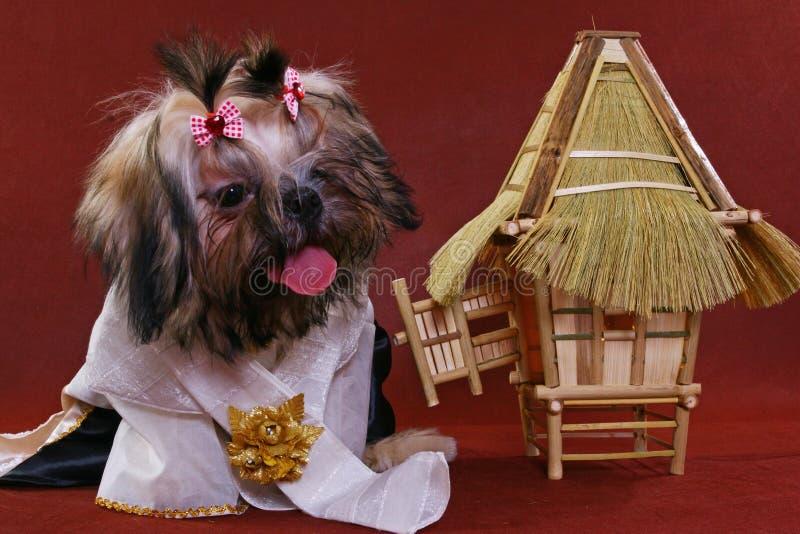 Shih-tzu vestido fotografia de stock royalty free