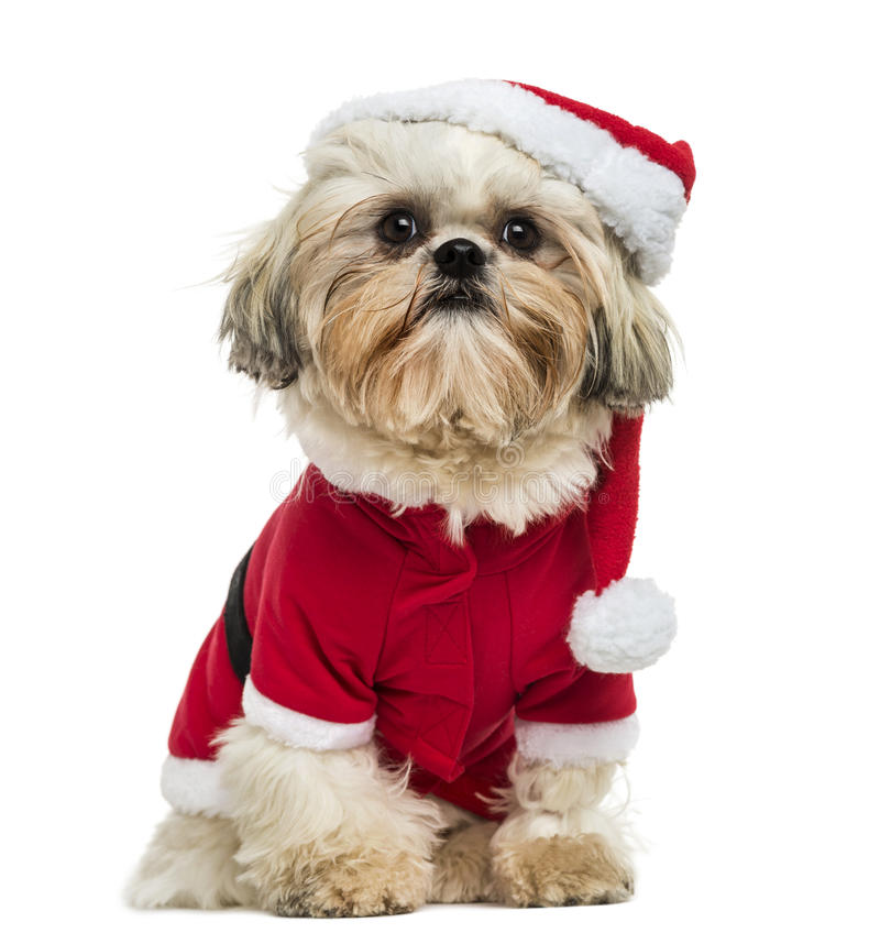 Shih Tzu wearing a christmas disguise, sitting royalty free stock photography