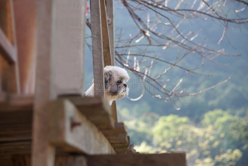 Shih-Tzuhond die zich op het balkon van het huis bevinden en bekeken de berg royalty-vrije stock foto