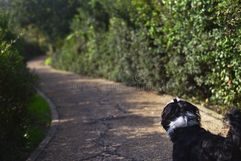 Shih tzuhund som går slingan arkivfoton