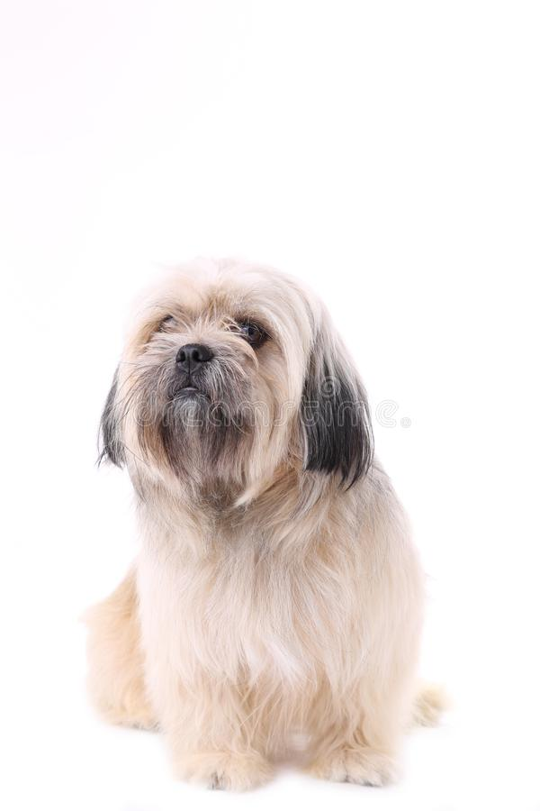 Shih tzuhund som isoleras på en vit bakgrund arkivfoto