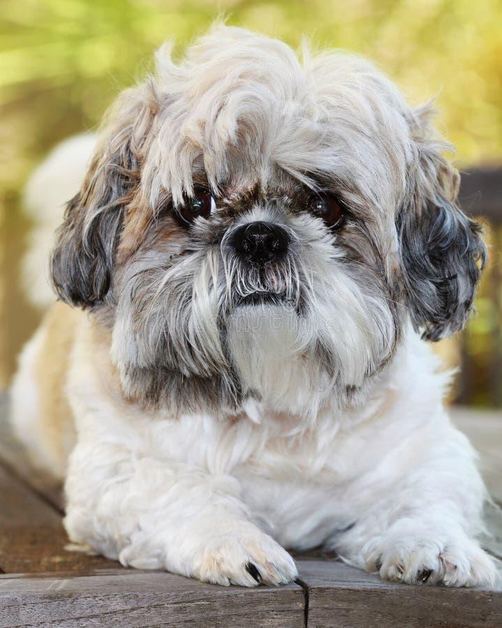 Free Shihtzu Dog Royalty Free Stock Photo - 10231895