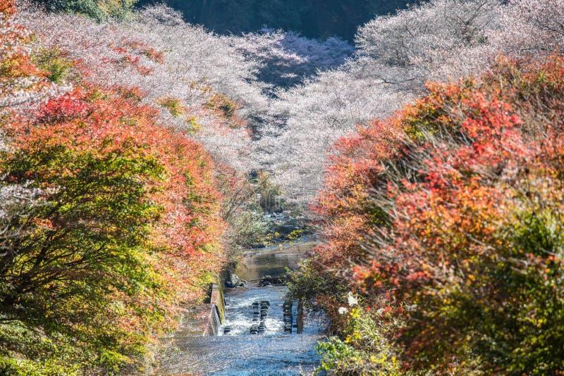 Shikizakura-Art von Kirschblüte blüht einmal im Frühjahr und wieder in a lizenzfreie stockfotos