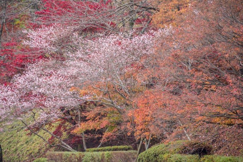Shikizakura-Blüte im Herbst stockfoto