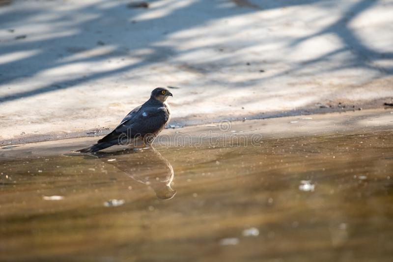 Shikra or Accipiter badius or little banded goshawk quenching thirst with reflection in water at jhalana forest jaipur stock images