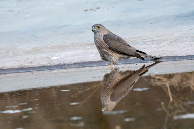 Shikra or Accipiter badius or little banded goshawk quenching thirst with reflection in water at jhalana forest jaipur royalty free stock photo