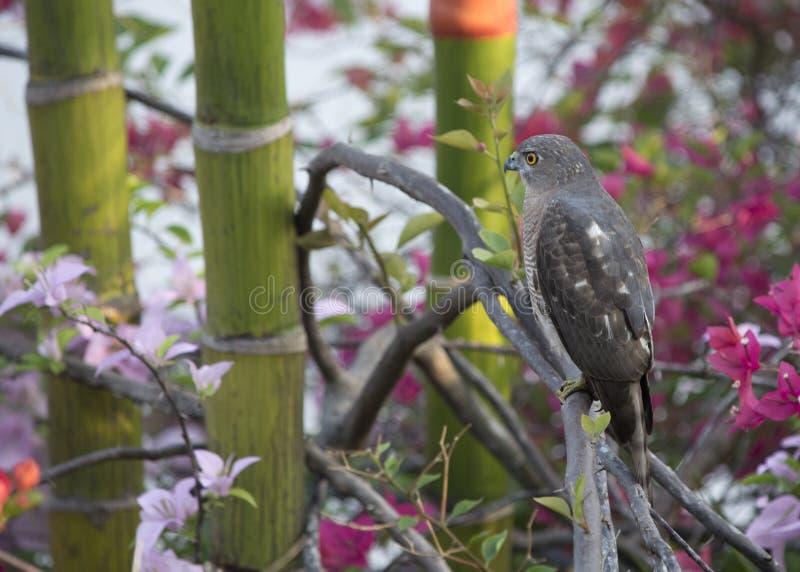 Shikra de chasseur d'oiseau image libre de droits