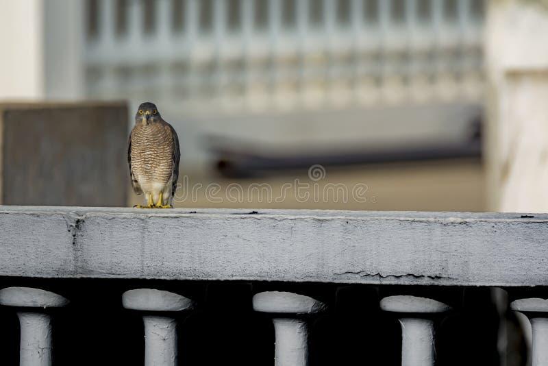Shikra que se sienta en una pared del parapeto de la terraza fotografía de archivo