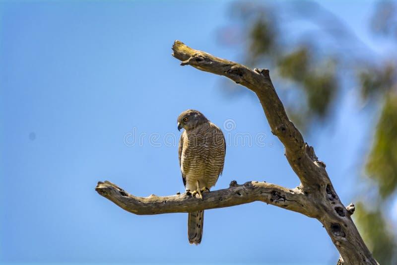 Shikra que se sienta en una rama del árbol seco imagen de archivo