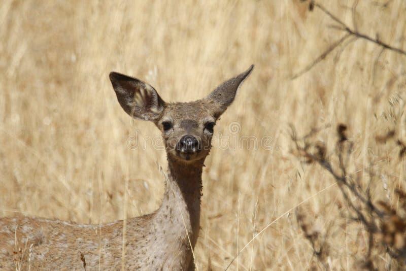 Shiloh Ranch Regional California-herten Het park omvat eiken bossen, bossen van gemengd evergreens stock foto